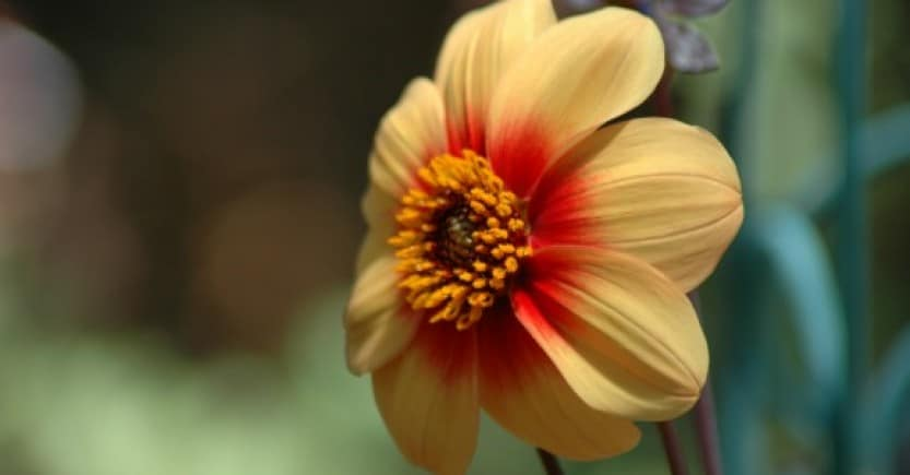yellow red flower