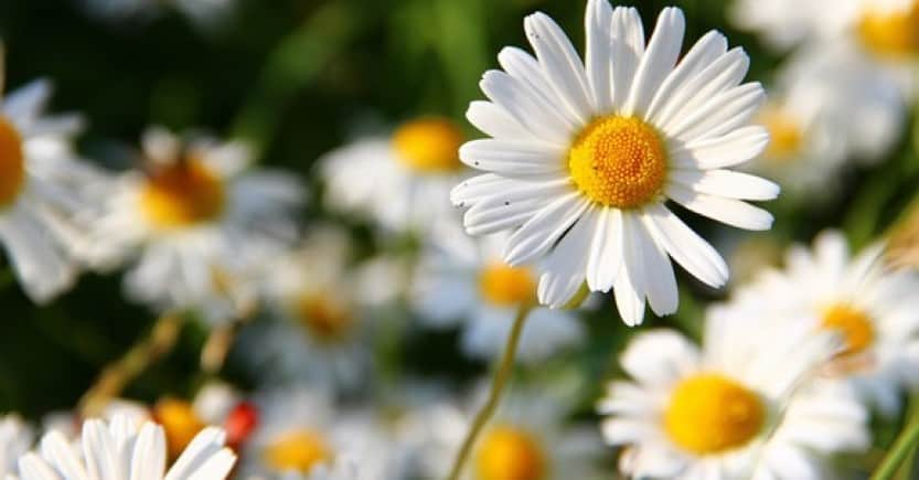 daisies white yellow