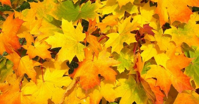 fall leaves yellow
