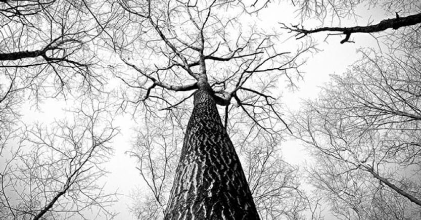 branches tree bw